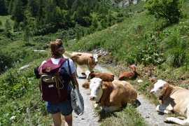 Die Kühe sind friedlich